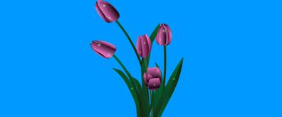鲜花上的水珠flash透明素材