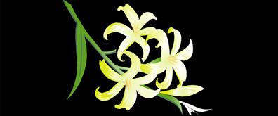枝头百合花flash透明素材
