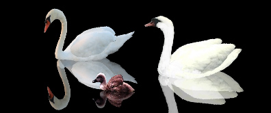 三只漂亮的天鹅flash透明素材