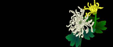 菊花flash透明素材