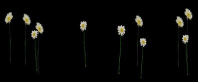 一朵朵小菊花flash透明素材