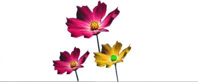 类似枫叶的菊花flash透明素材