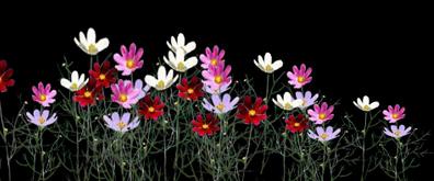 左右摇摆的菊花flash透明素材