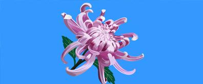 盛开的菊花flash素材