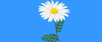 一朵洁白的菊花flash素材