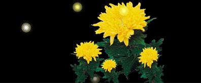 菊花瓣飞舞闪亮的flash透明素材