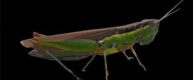 秋蚂蚱flash透明素材