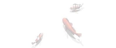三条缓慢游动的金鱼flash素材