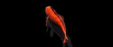 摇头摆尾的金鱼flash素材