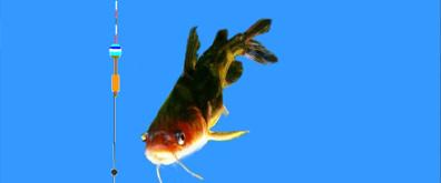 昂刺鱼吃饵flash素材