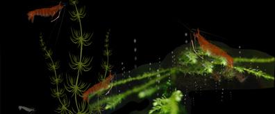 游动的虾子flash素材
